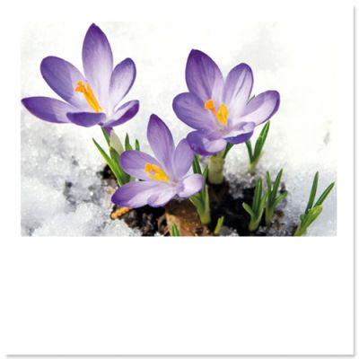 Krokussen in voorjaars sneeuw